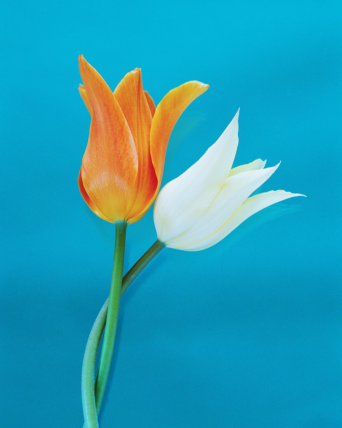Orange and white tulip against a blue background | Brewster By the Sea Cape Cod Inn | Brewster, MA